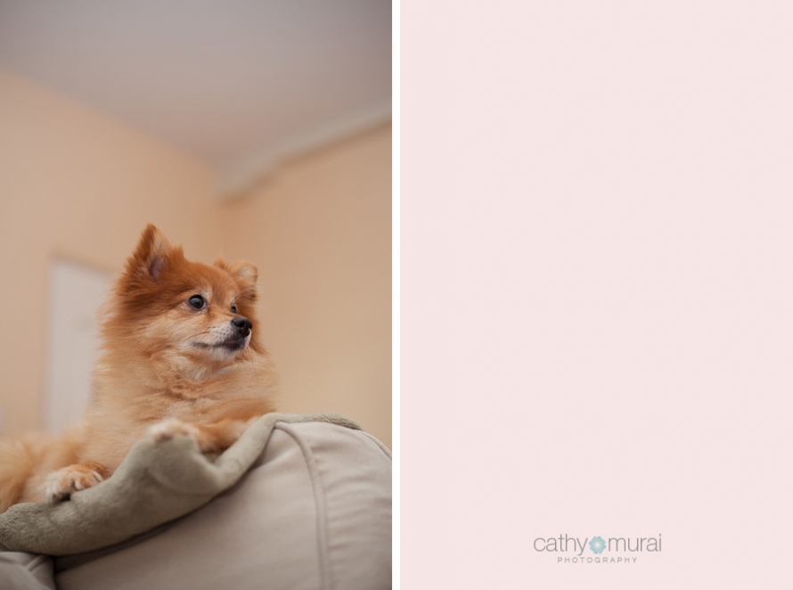 A Pomeranian, the Canine Baby Sitter, oversees her family from the sofa - Captured by a Glendale Lifestyle Pet Photographer, Cathy Murai Photography