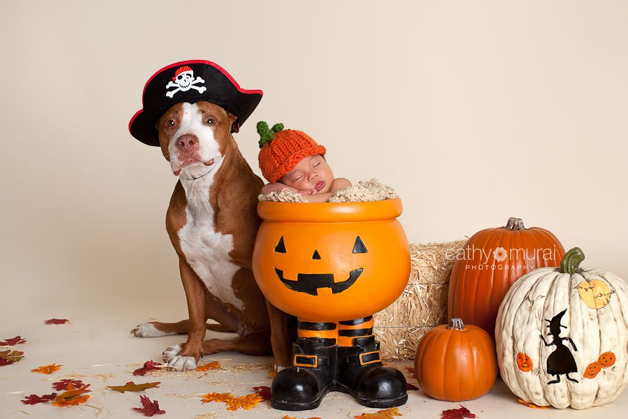 A female pitball family dog dressed up as pirate for Halloween portrait session her newborn brother wearing a pumpkin hat