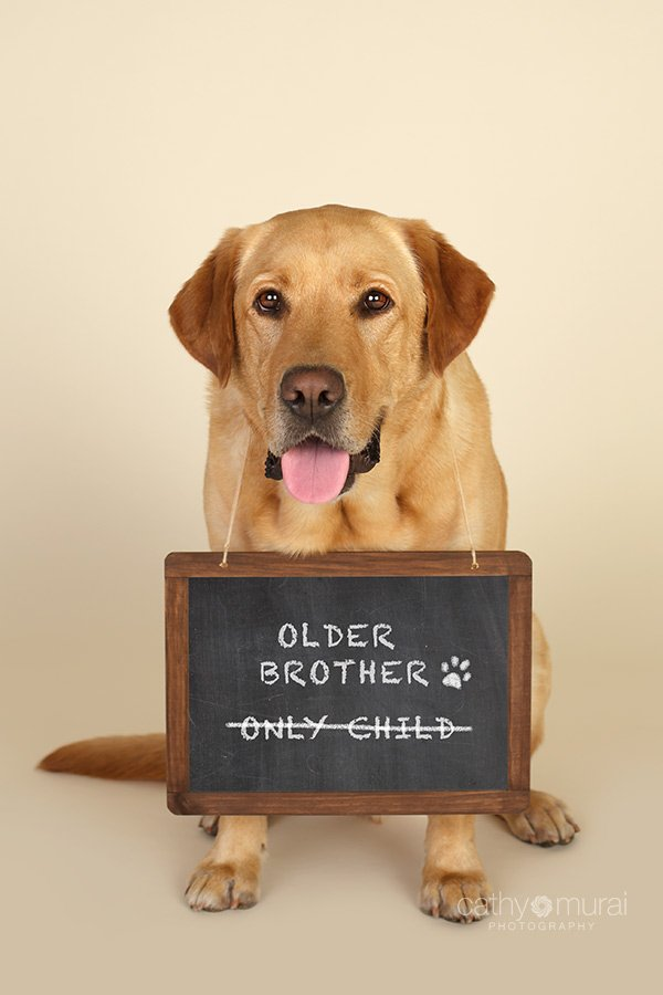 Yellow Labrador Dog welcoming his new sibling for pregnancy announcement, Dog Announcement, We are expecting